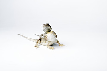 Agama. Two baby Bearded Dragons on white background.