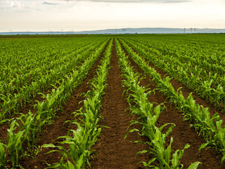 Green corn maize plants on a field. Agricultural landscape