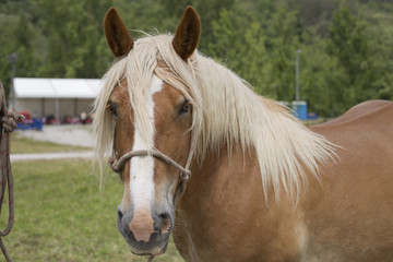 Portrait of a palomino horse