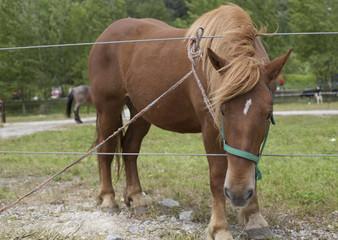 Portrait of a sorrel horse