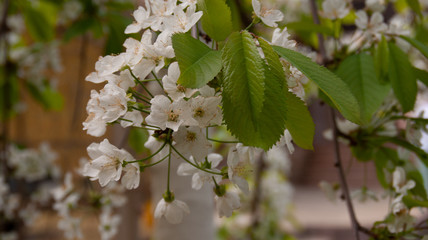 Cherry blossoms in the spring. Macro photography. Defocusing.