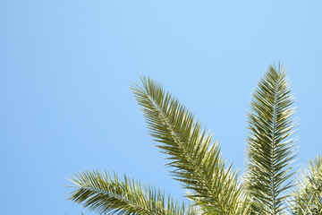 Bottom view of exotic californian coconut palm trees with large leaves strips in sunshine on white and blue sky background, sunny day.