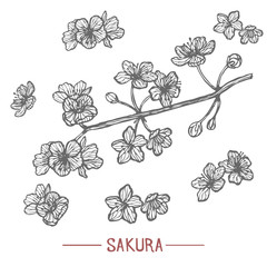 Sakura in Hand Drawn Style