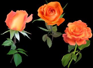 three bright isolated on black orange rose flowers