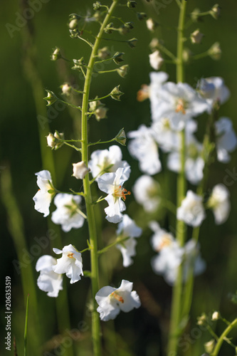 Small White Flowers Verbascum Phoeniceum Beautiful Meadow Field