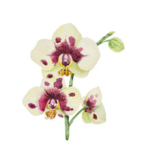 Watercolor orchid phalaenopsis close-up. White inflorescences with lemon and purple spots.