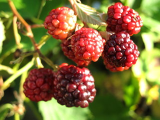 detail of immature blackberries