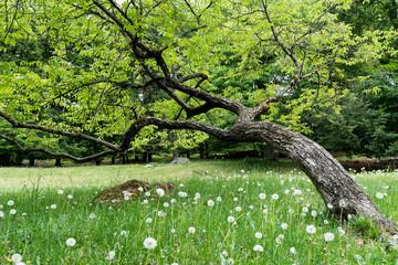 Wall Mural - crooked oak in dandelion field
