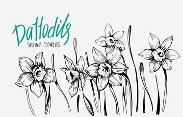 Daffodils hand drawn sketch. Spring flowers. Vector illustration