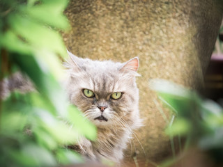 close up face from beauty female gray persian cat with long hair sit in garden with soft focus foreground tree leaf