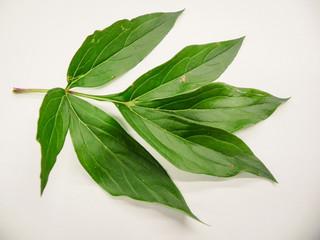 Peony leaves Macro close up on white