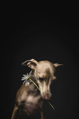 Portrait of little italian greyhound dog