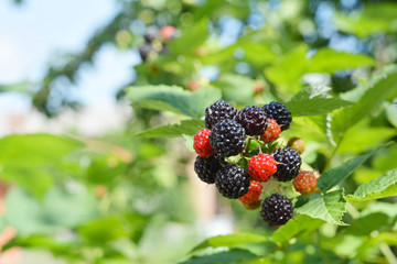 Ripe fresh blackberries in the fruit garden