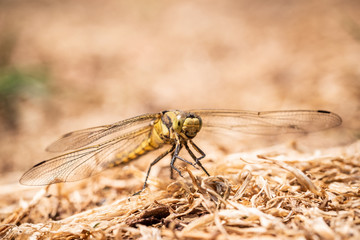 Big yellow draginfly is perched on ground in dry grass