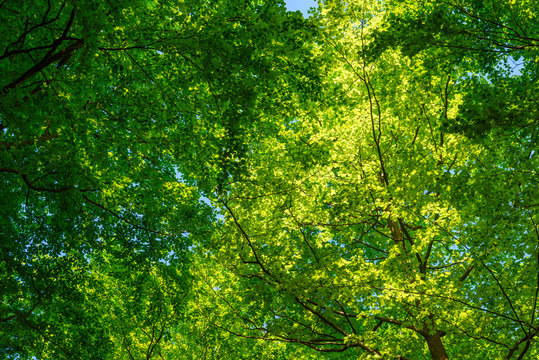 Lush and green beech canopy on a sunny day. Some blue sky visible among the leaves.