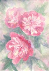 Pink peonies. Watercolor artwork
