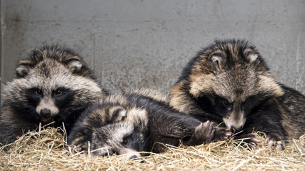 Racoon dogs in captivity