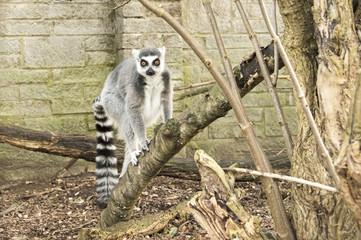 Ring tailed Lemur in captivity