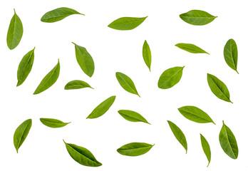 Green leaves of Privet isolated on white