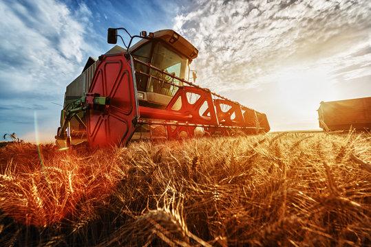 Combine harvest in the golden wheat field