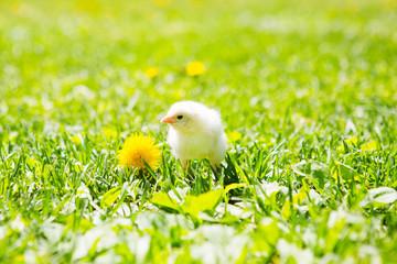 little chicken yellow color on green natural background. Newborn of chicken.