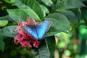 Butterfly (Blue monarch) on flower