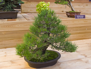 Bonsai tree  - Japanese black pine