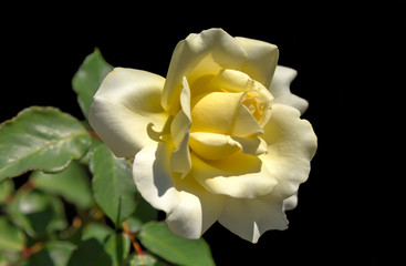 Beautiful white yellow Rose flower.