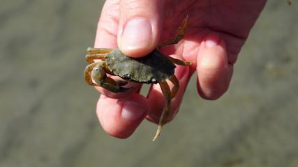 Hand hält Krabbe im Watt