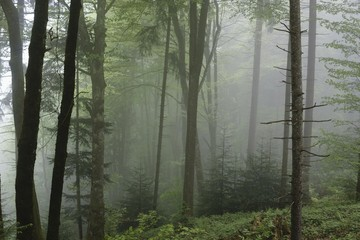 Fog in a Swiss Forest