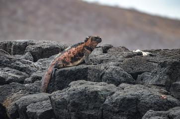 Marine Iguana ( Amblyrhynchus cristatus) a species of Iguana only found on the Galapagos Islands.