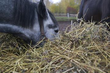 Grey horse near a big haystack