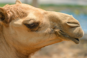 head shot of camel