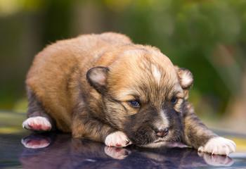 lying newborn puppy