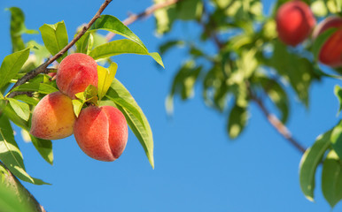 Sweet peach fruits ripening on peach tree branch in the garden. Blue sky background.