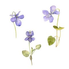 watercolor drawing flowers of viola