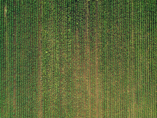 Aerial view of corn crops field with weed