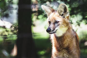 Portrait de loup à crinière