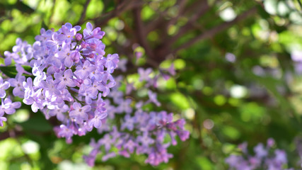 Keuken foto achterwand Lilac Purple lilac blooming on green background
