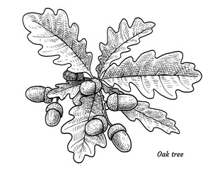 Oak tree with acorns illustration, drawing, engraving, ink, line art, vector
