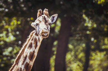 Portrait de girafe
