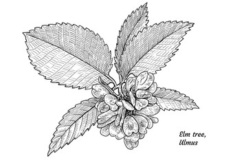 Elm tree leaf, fruits, branch illustration, drawing, engraving, ink, line art, vector