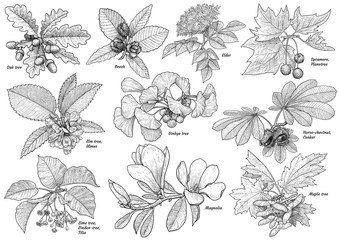 Obraz Tree branchcollection illustration, drawing, engraving, ink, line art, vector - fototapety do salonu
