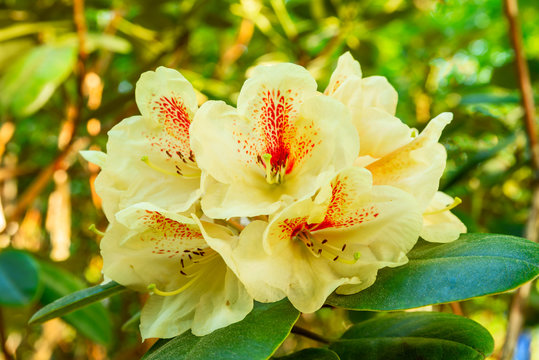 Yellow and red rhododendron flowers on a sunny day.