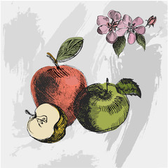 Apple sketch.Vintage ink hand drawn vector of different apples on the grunge background.