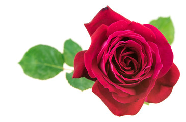 Red rose on white background top view
