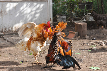 Two cocks fight. Roosters fighting in backyard
