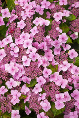 Full frame close up display of  Hydrangea flowers