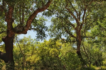 Cork oak forest in Arrabida Mountains