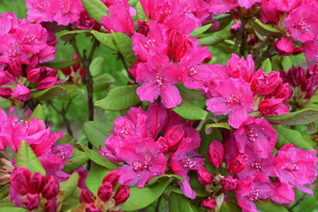 Closeup of pink azalea or rhododendron blooming with flowers and buds as abstract colorful background.
